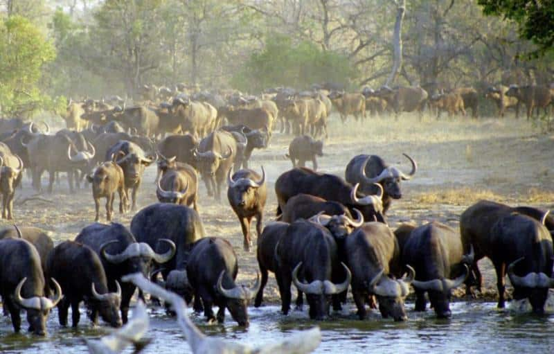Buffalo at Timbavati waterhole