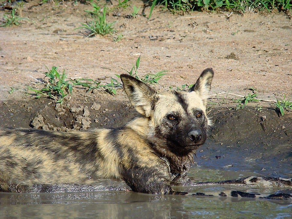 Wild dog at Timbavati waterhole