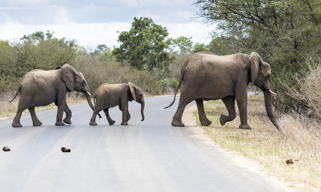 Elephants crossing Kruger Road, sheldrickfalls