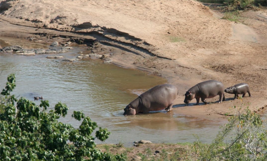 Hippo with calf from Olifants restcamp, David Manttan