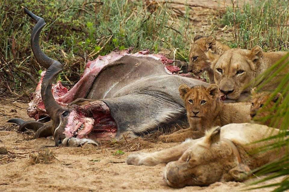 Waterbuck kill by lion at Jock