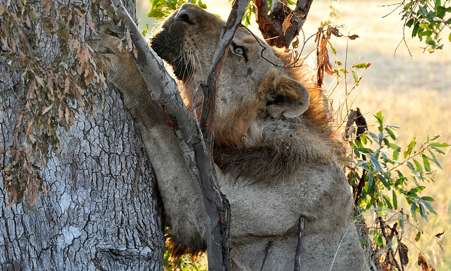 Lion on drive at Umkumbe