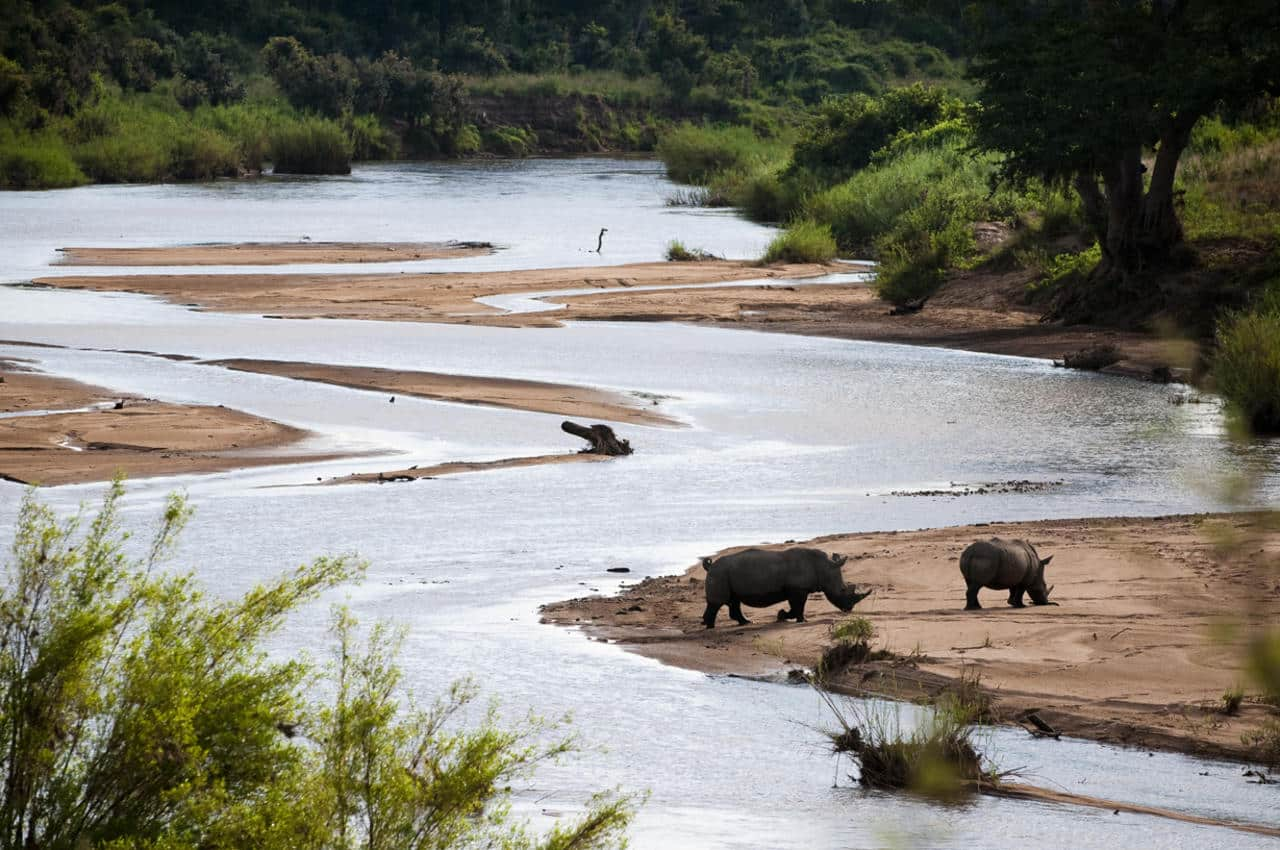 Rhinos on the Sabie riverbed at Tinga