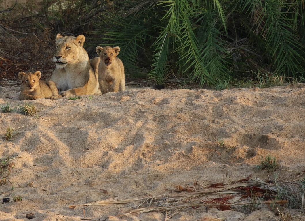 Tsalala lioness and cubs after buffalo kill at Varty Camp
