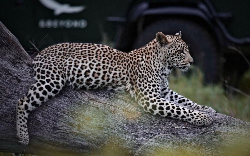 Leopard on drive at Kirkmans Camp