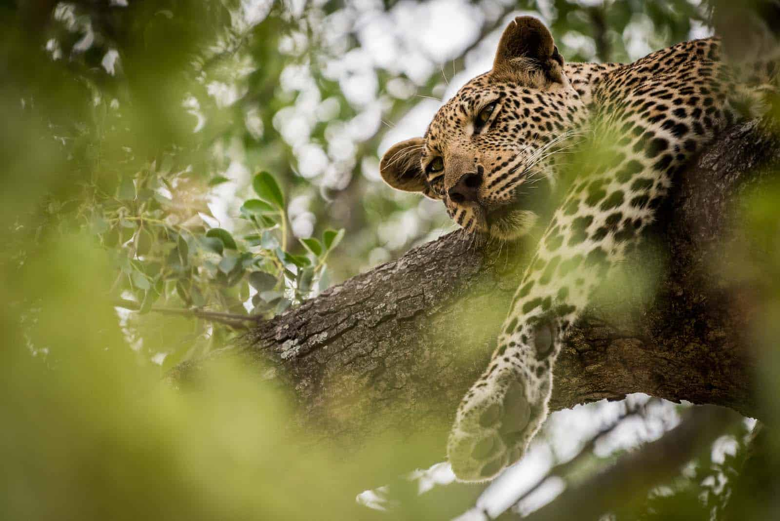 Leopard at Ivory Wilderness