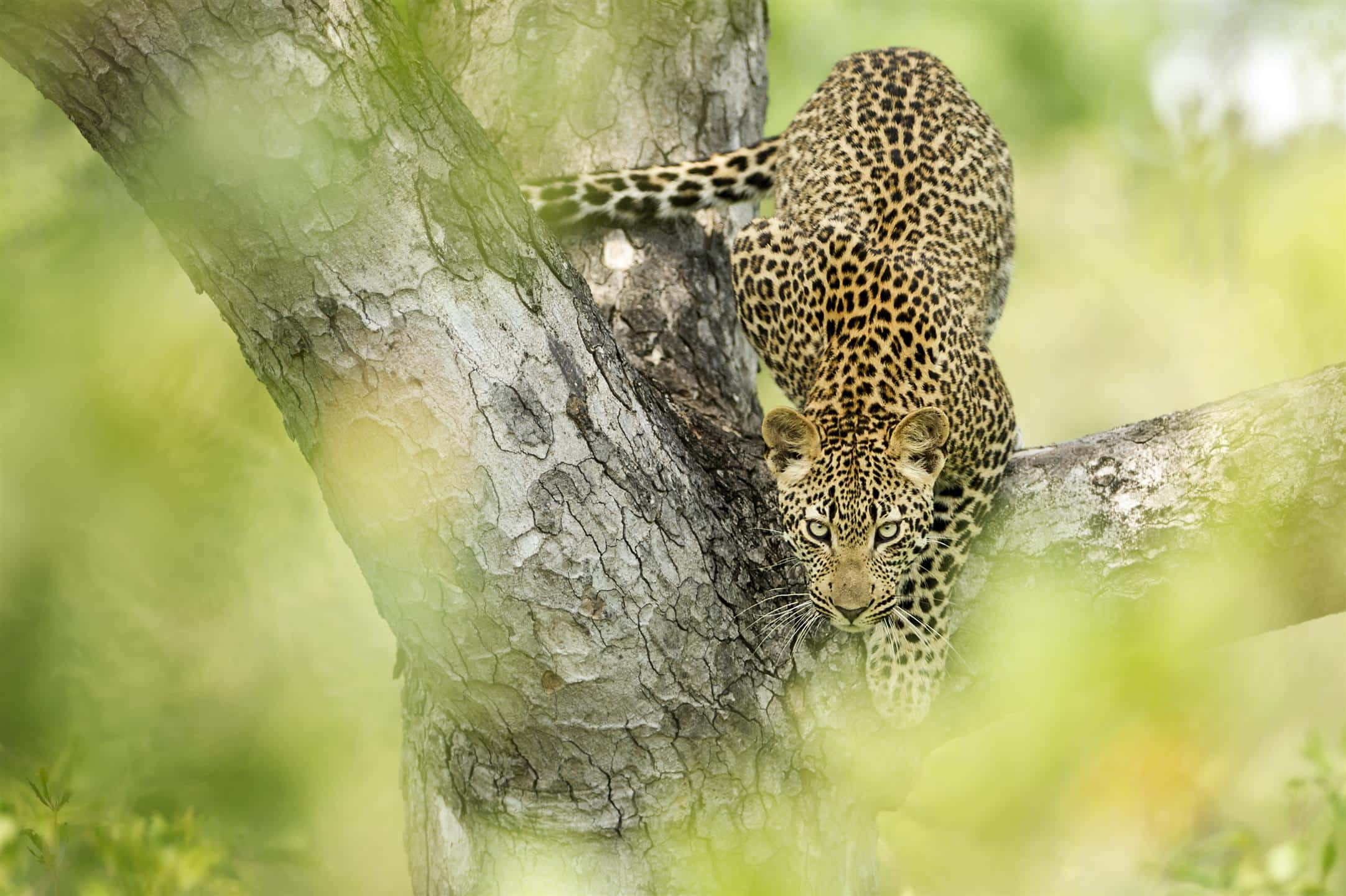 Leopard at Singita Sabi Sand