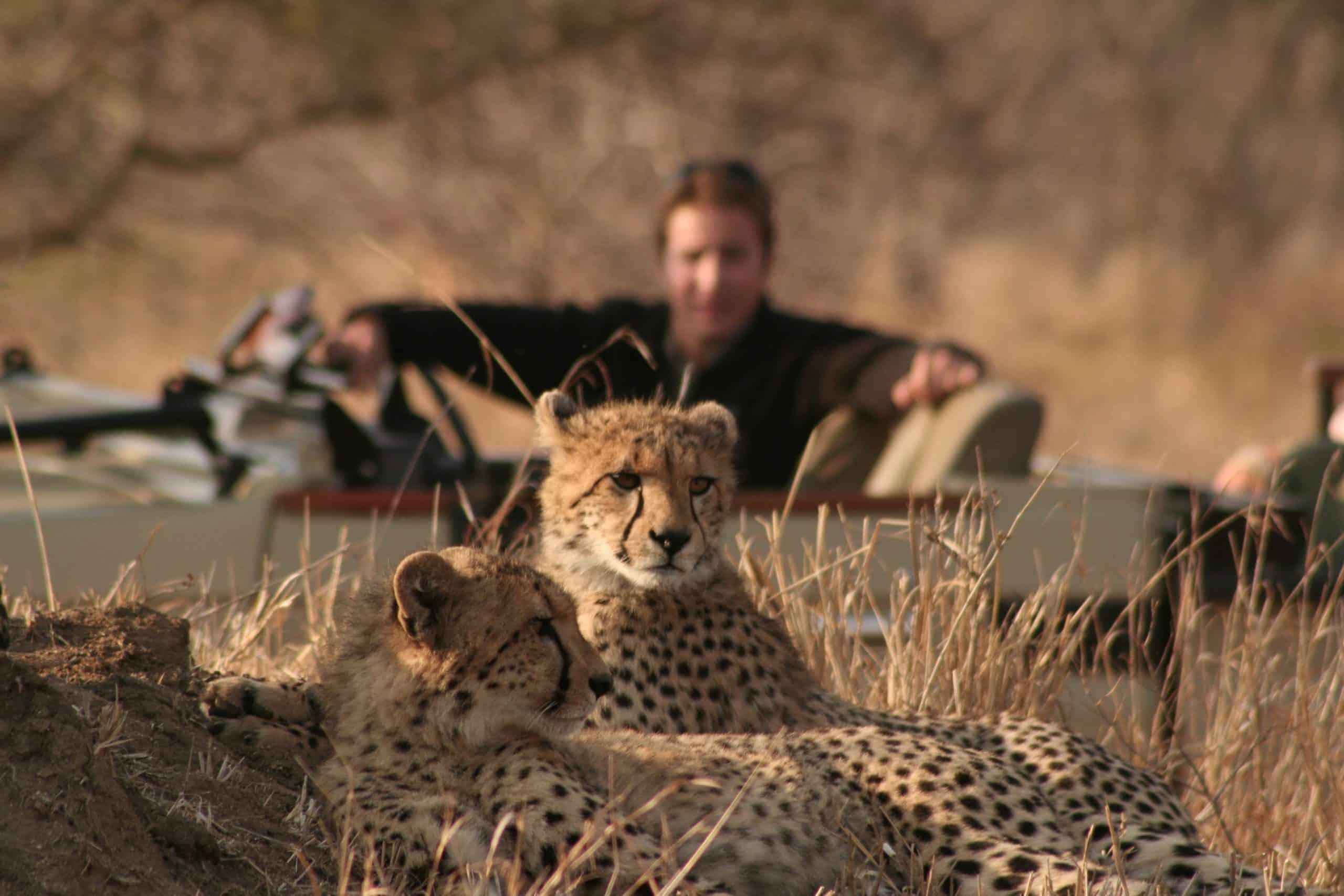 Cheetah on drive at Tintswalo