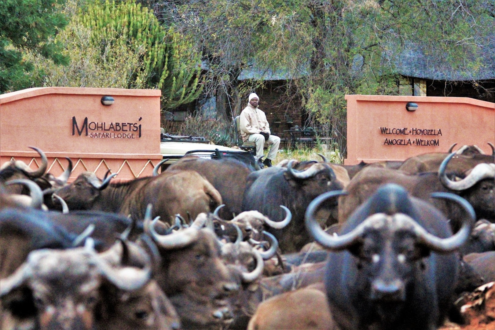 Buffalo at Mohlabetsi camp entrance