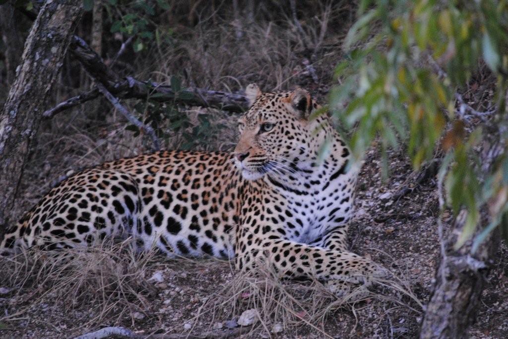 N'Kaya leopard