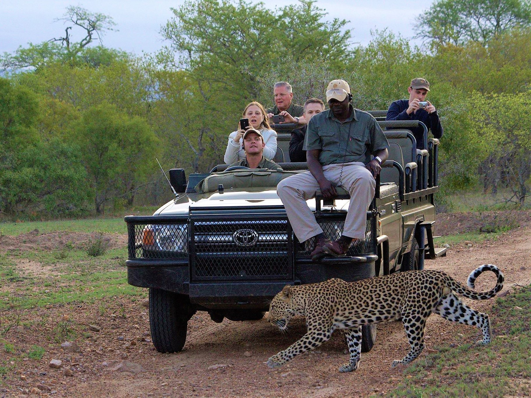 Thornybush leopard crossing on drive