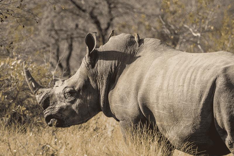 Rhino at Amani