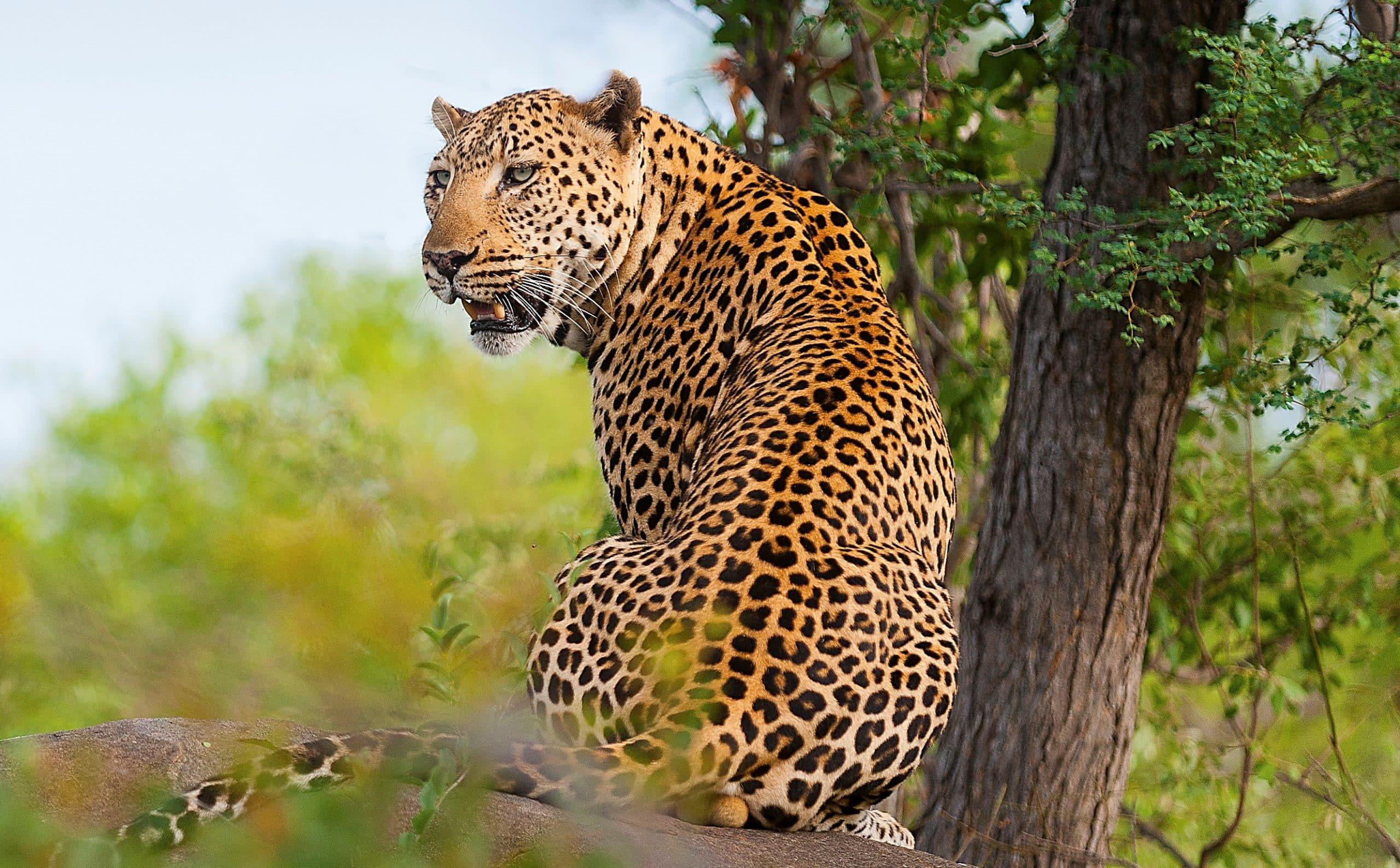 Leopard at Pondoro