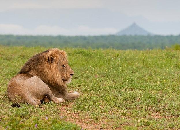 Pondoro lion and koppie