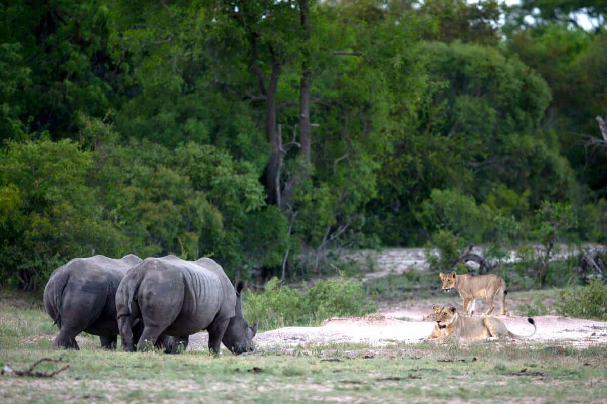 Rhino lion stand off at Royal Malewane