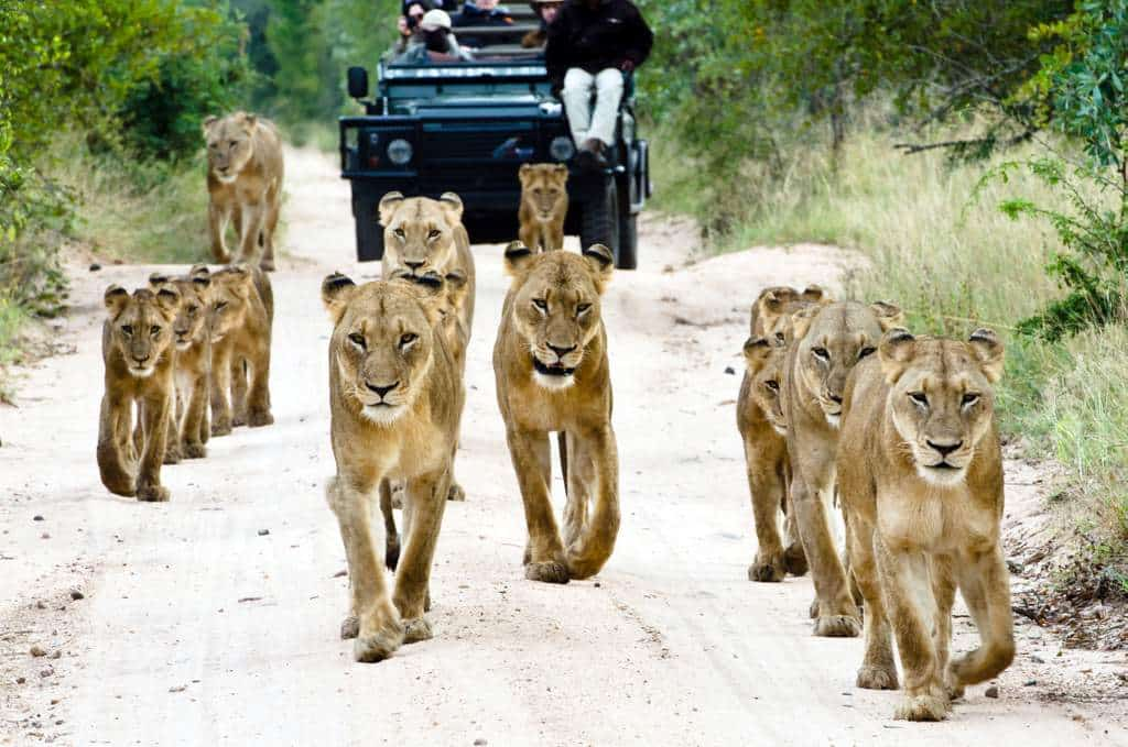 Walking with the pride at Sabi Sabi