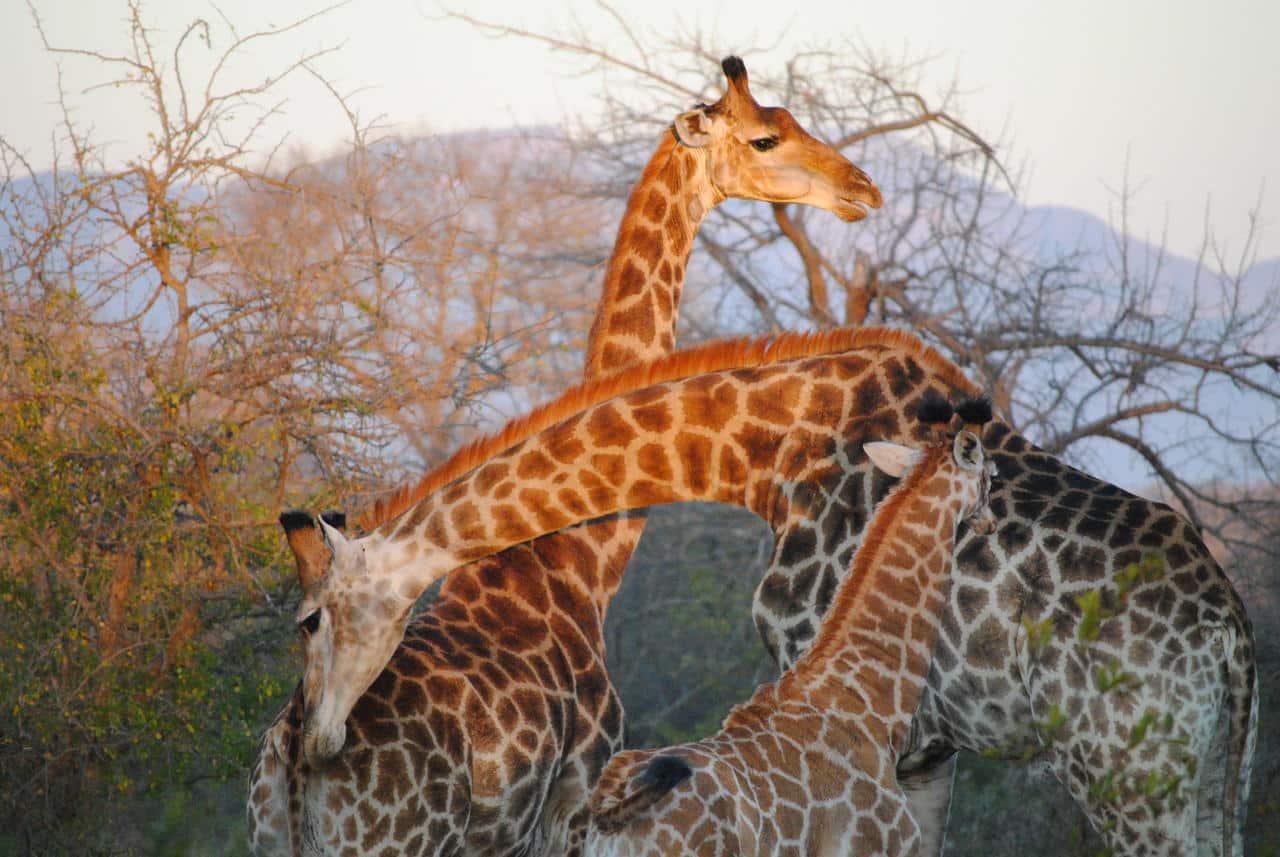 Thornybush giraffe