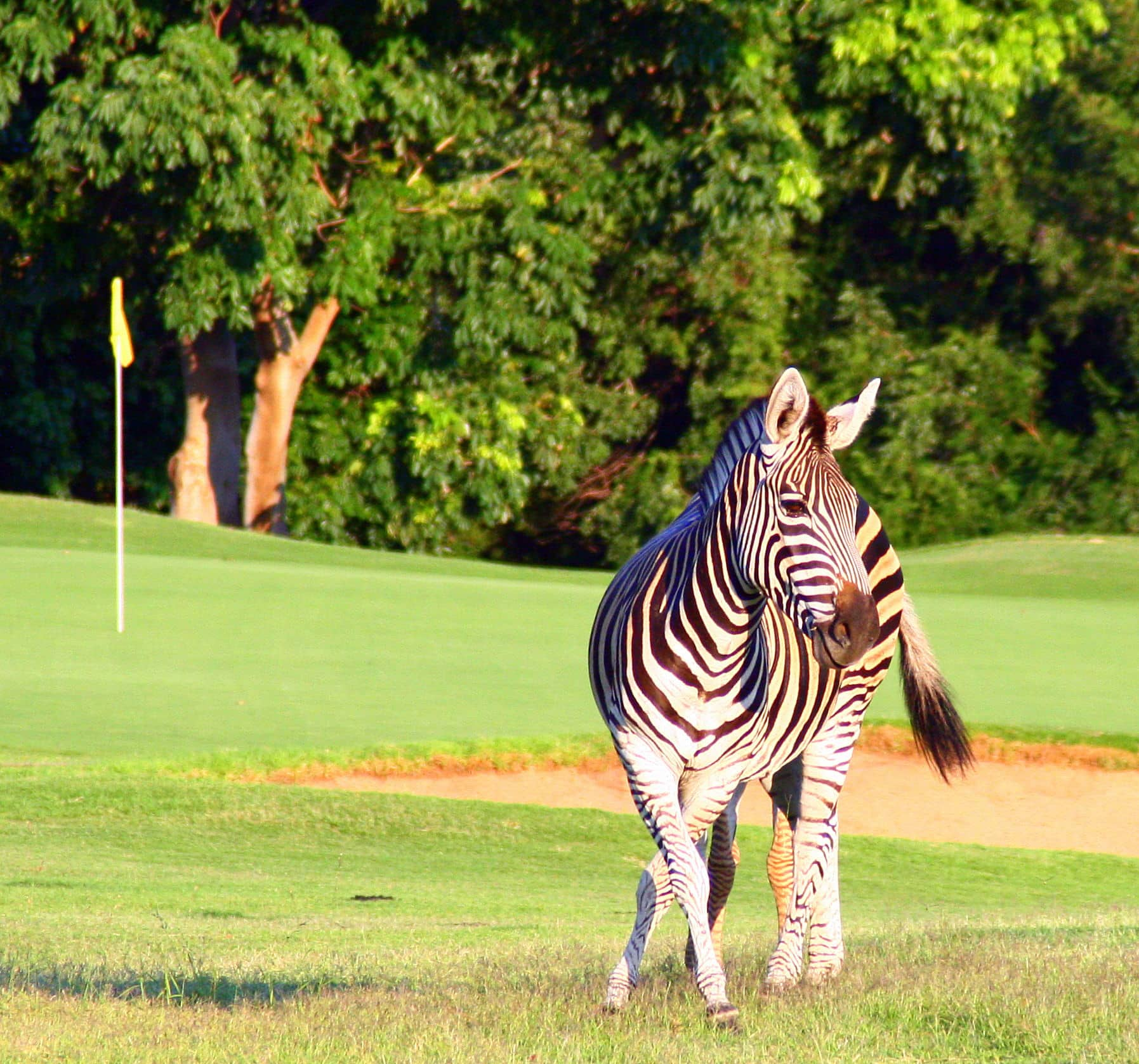 Zebra at Hans Merensky golf course