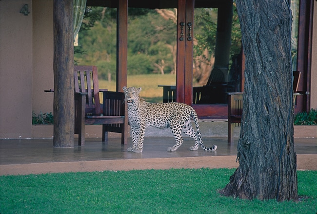 Leopard on Kings Camp deck