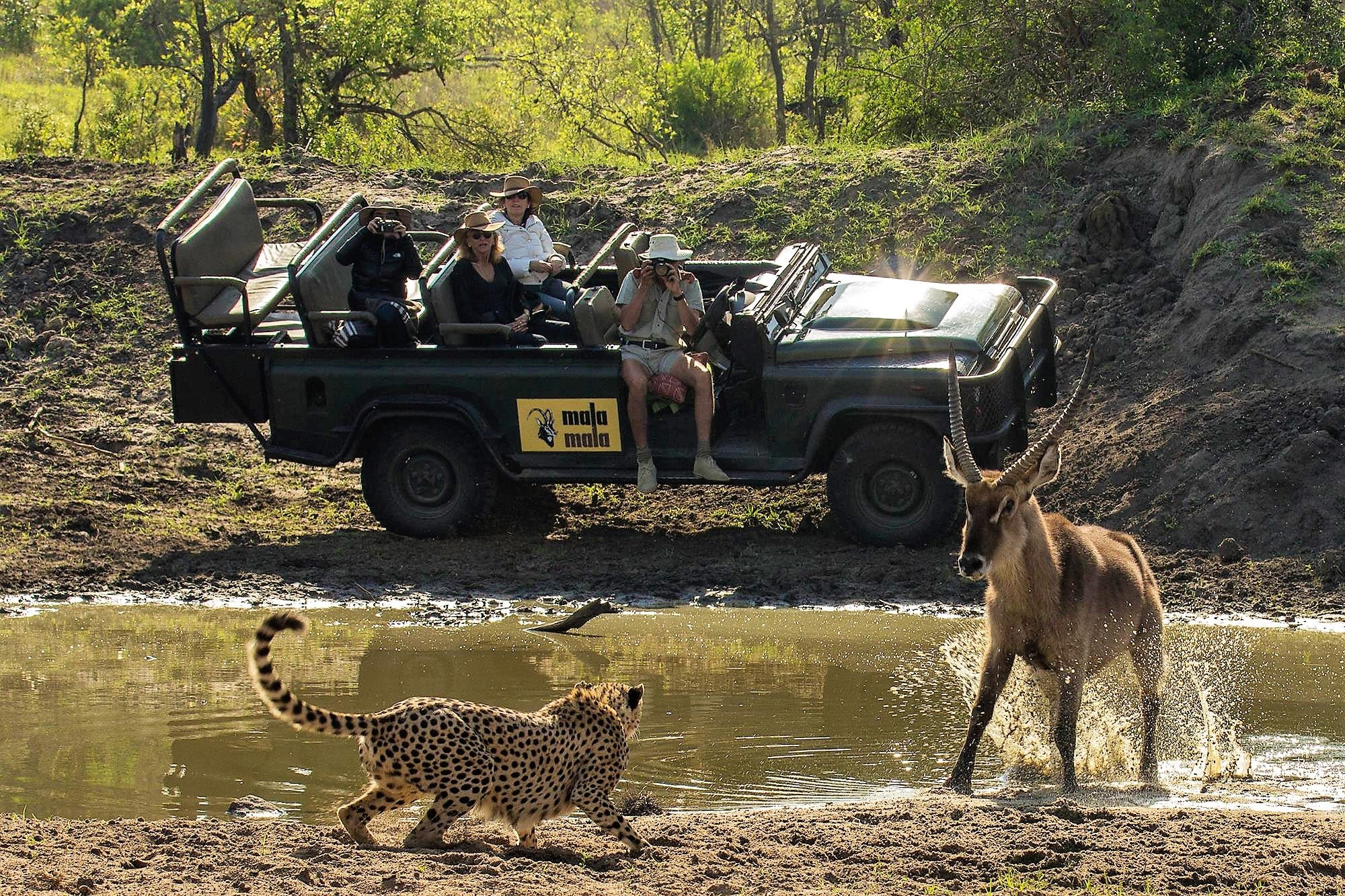 Cheetah at MalaMala waterhole