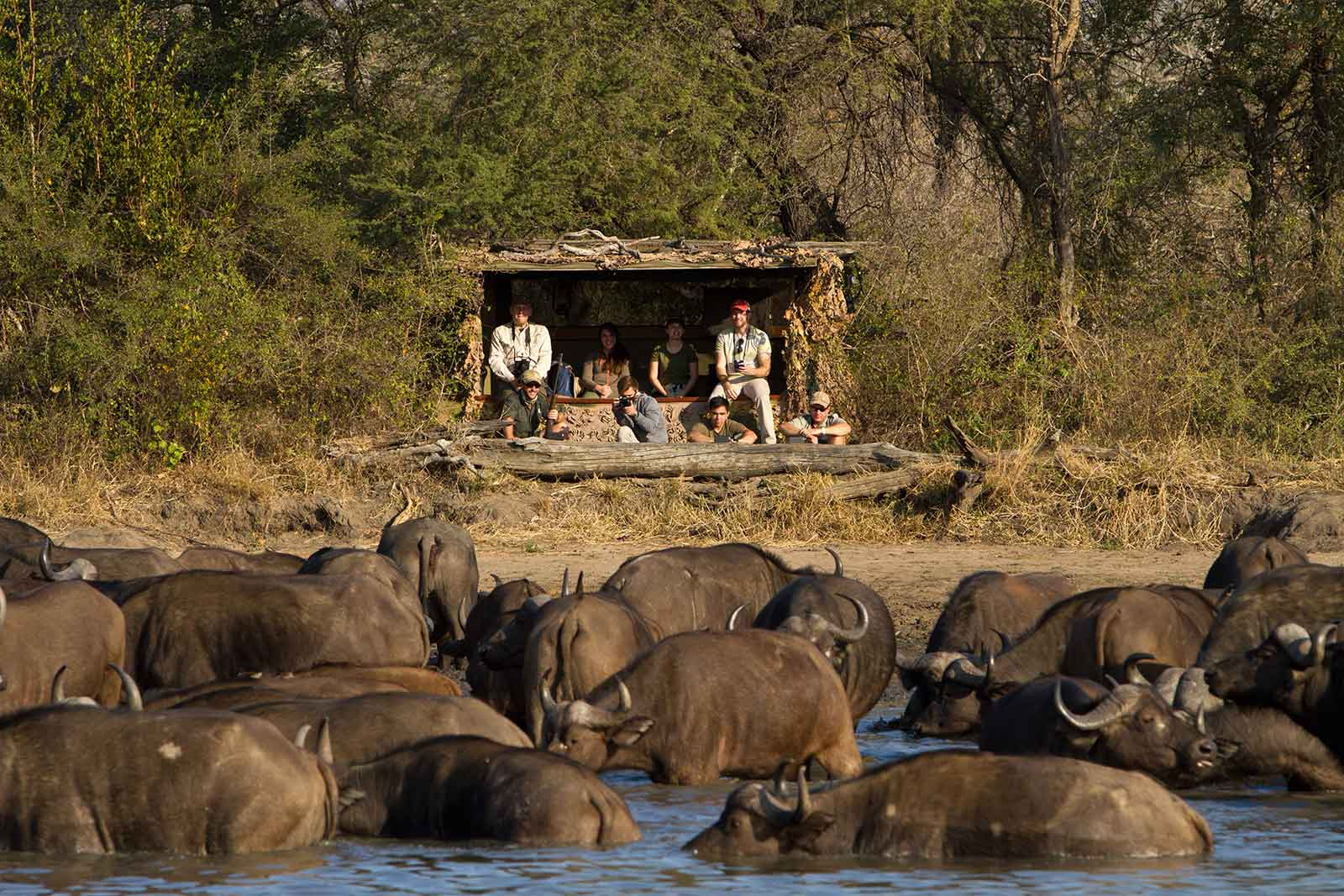 Buffalo herd at Africa on Foot hide