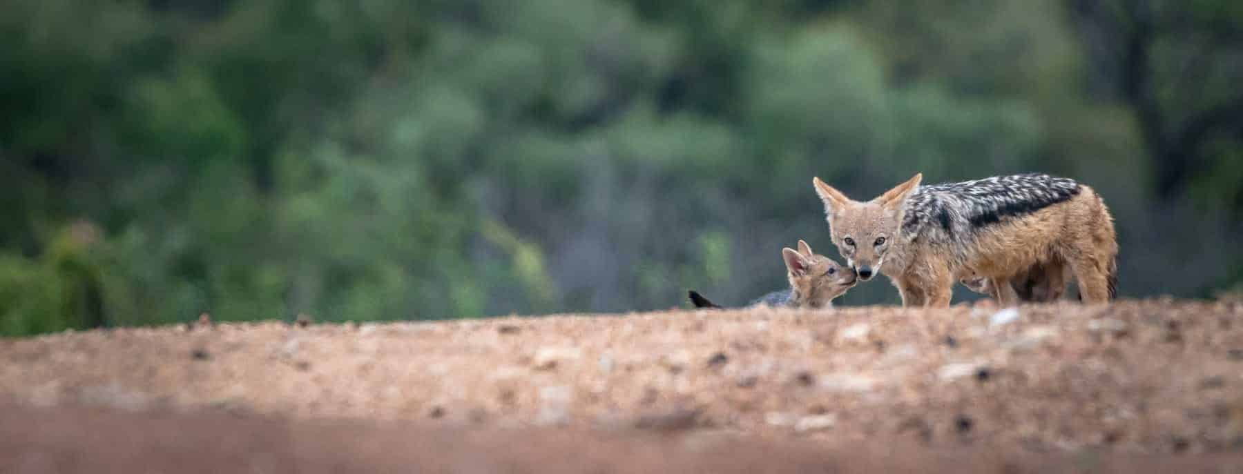 Jackal with pup at Chama Buish Camp, Em Gatland