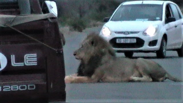 Lion on Kruger road at dusk