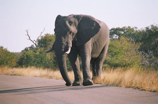 Elephant on Kruger road