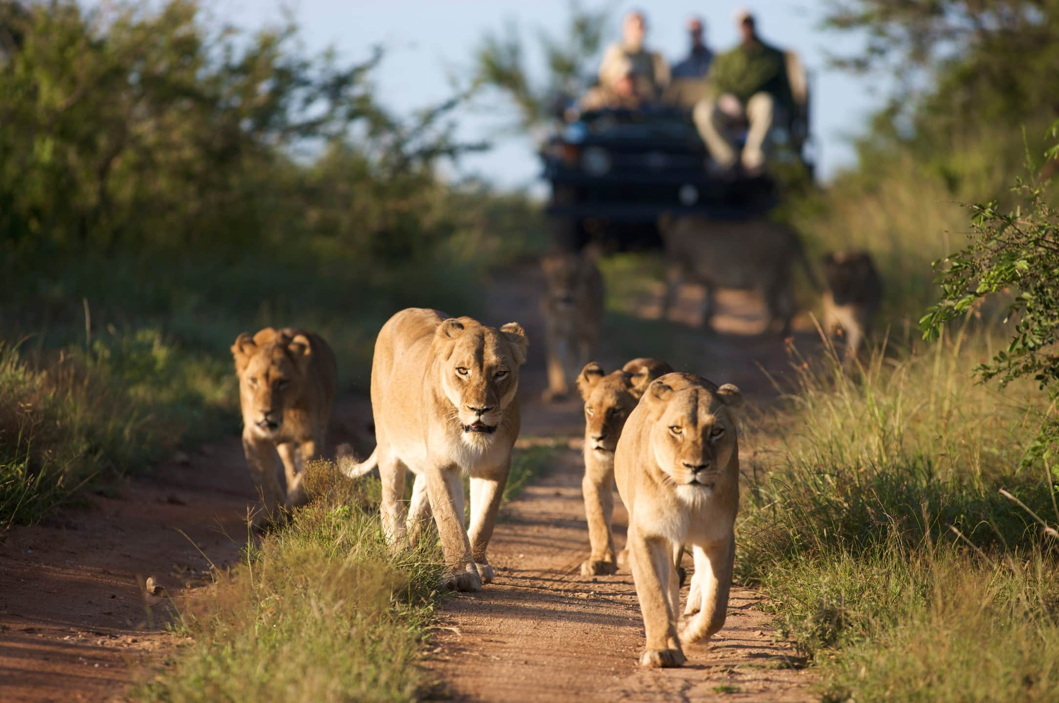 Lions on drive at Kapama