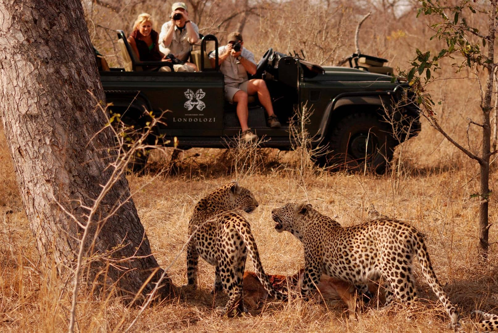 Leopard viewing on Londolozi photographic safari