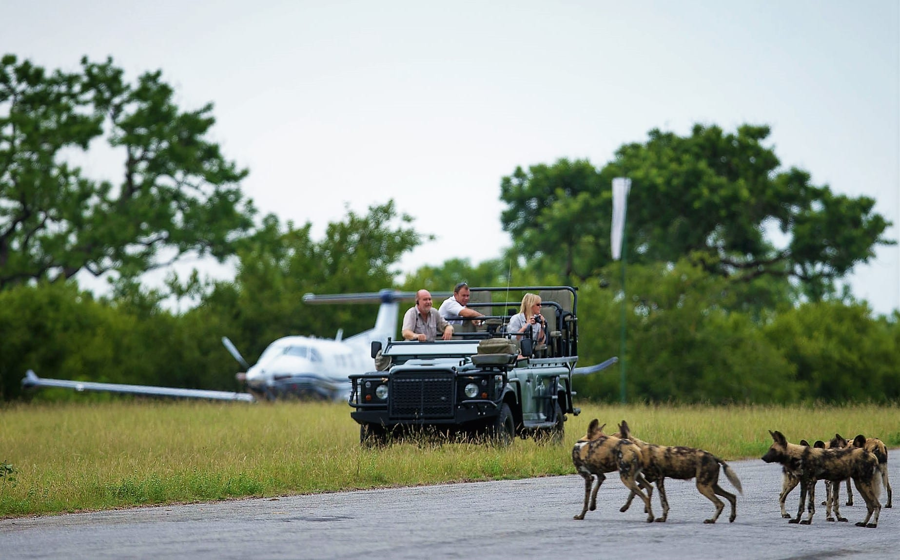 Wild dog on runway at Singita