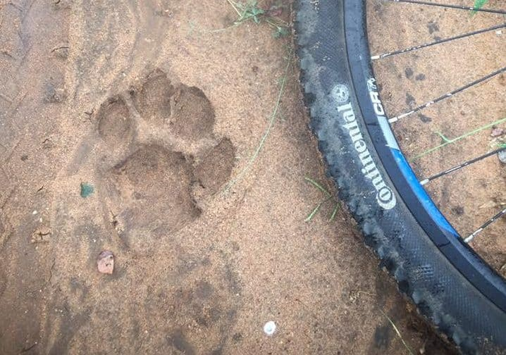 Tyre and lion paw print