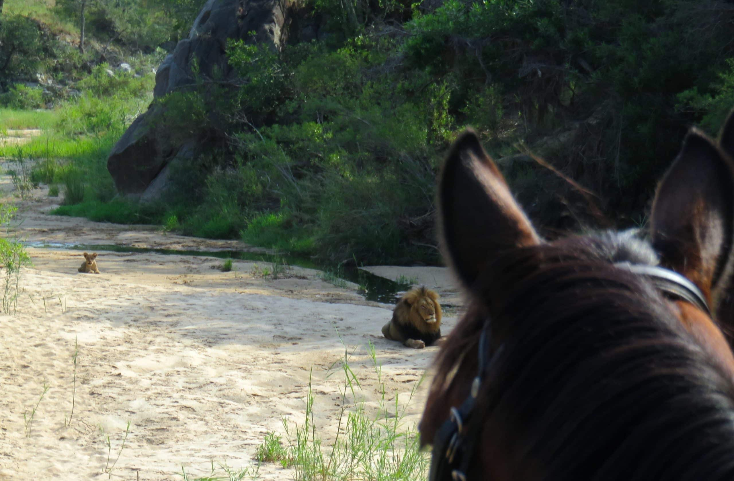 Lions on horseback trail at Wait-a-Little