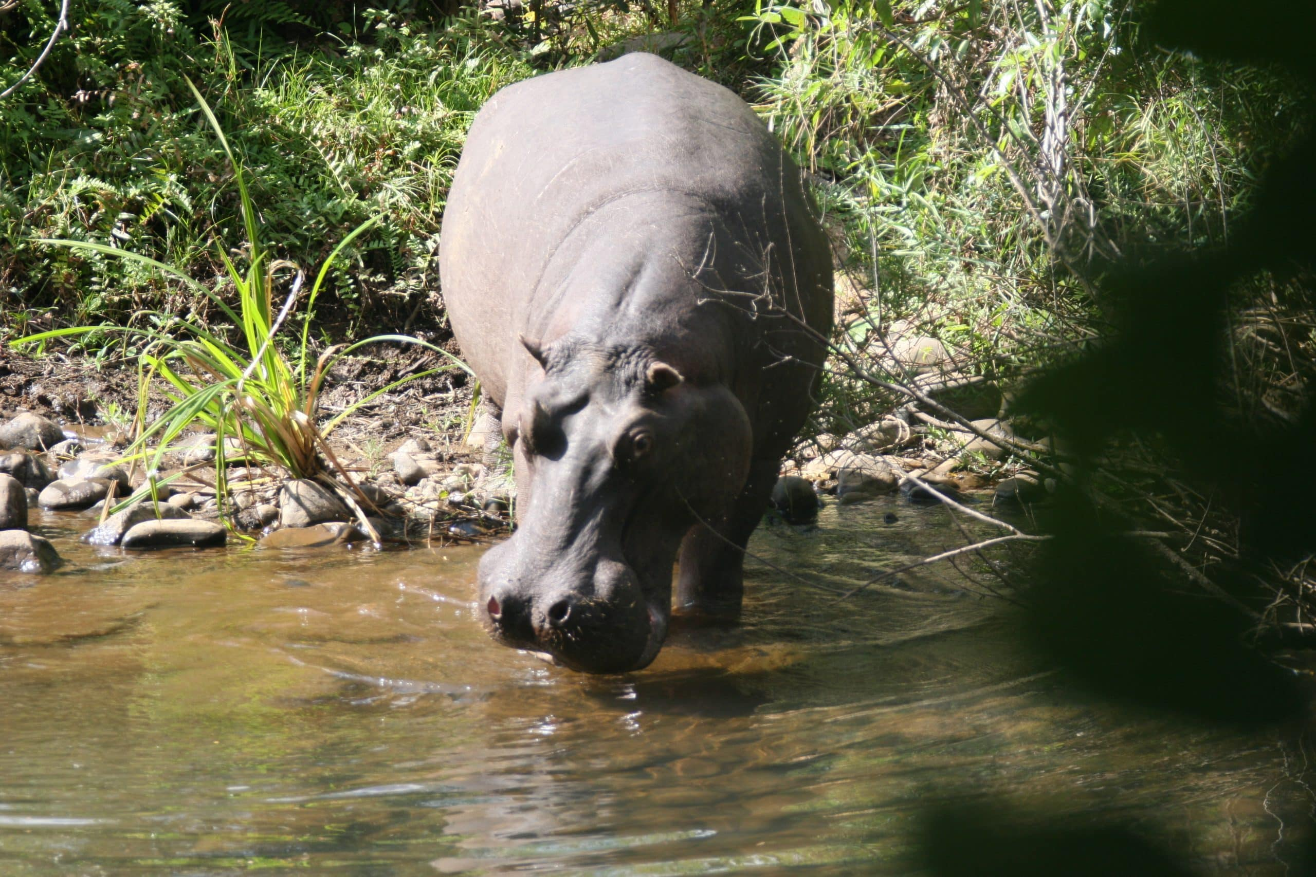 Hippo at Blyde Wilderness Lodge
