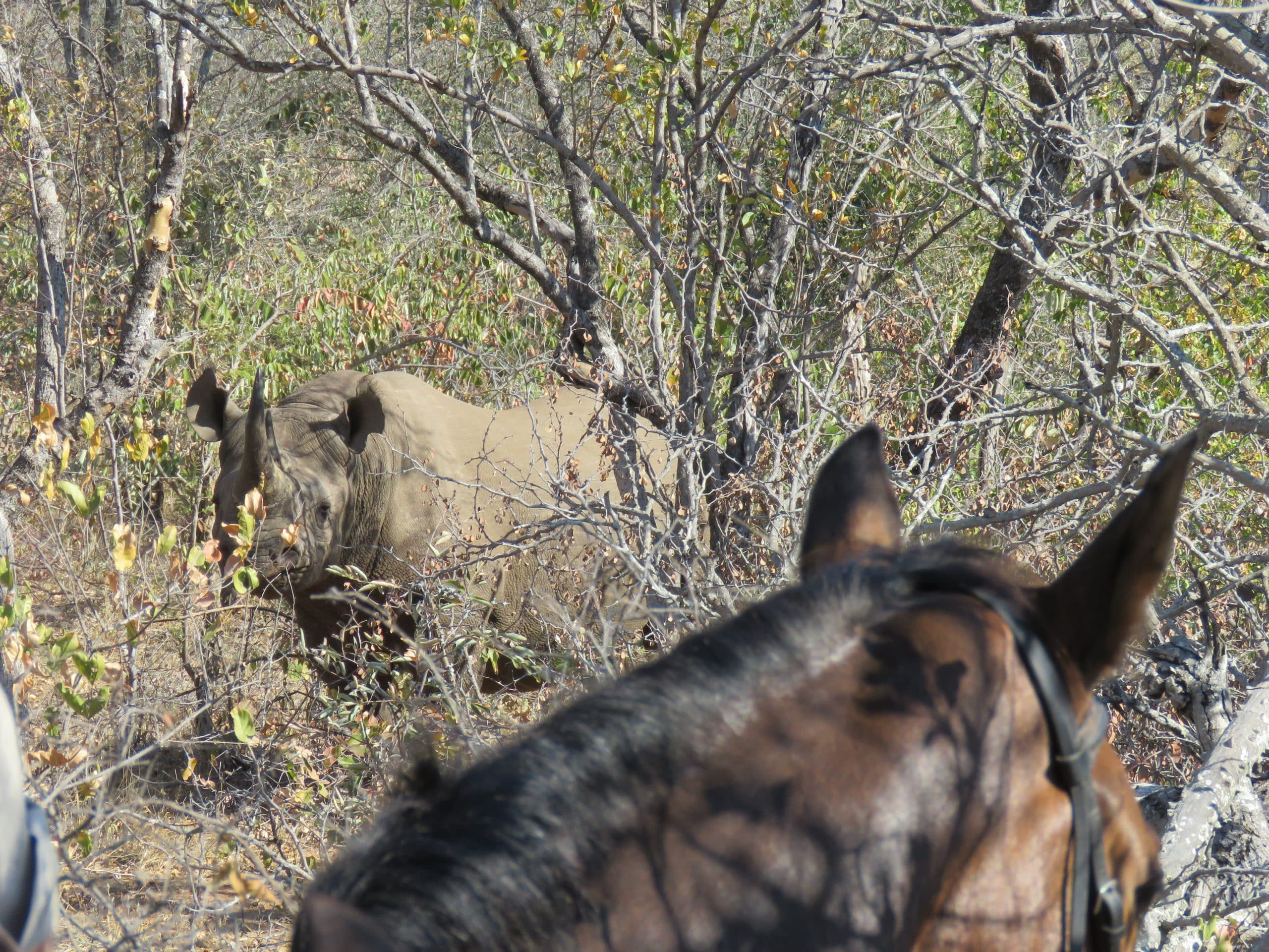 Rhino on horseback trail at Wait-a-Little