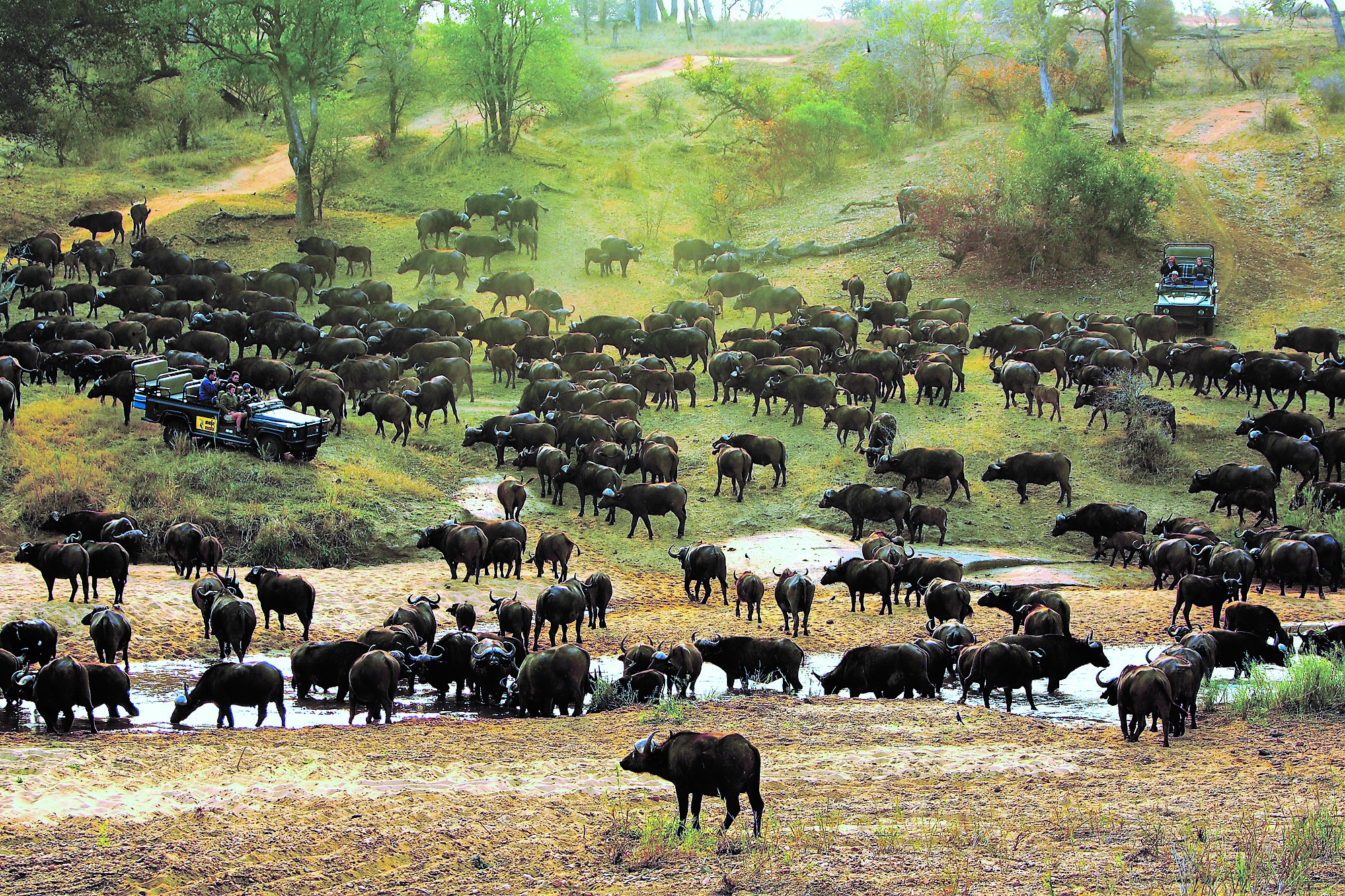 Buffalo on drive at MalaMala