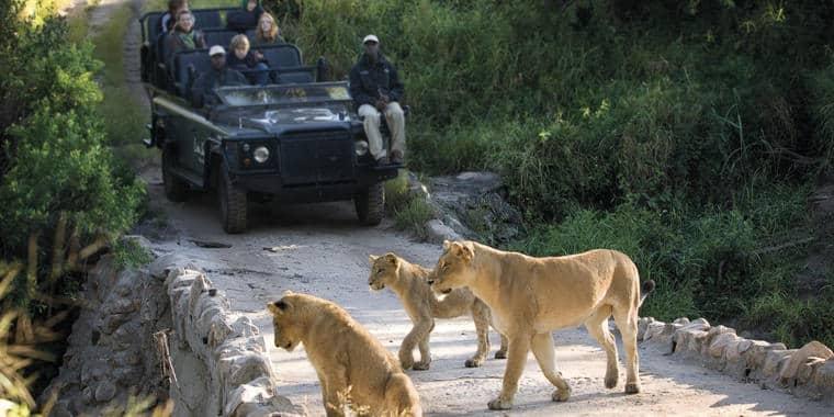 Lion on Lion Sands drive
