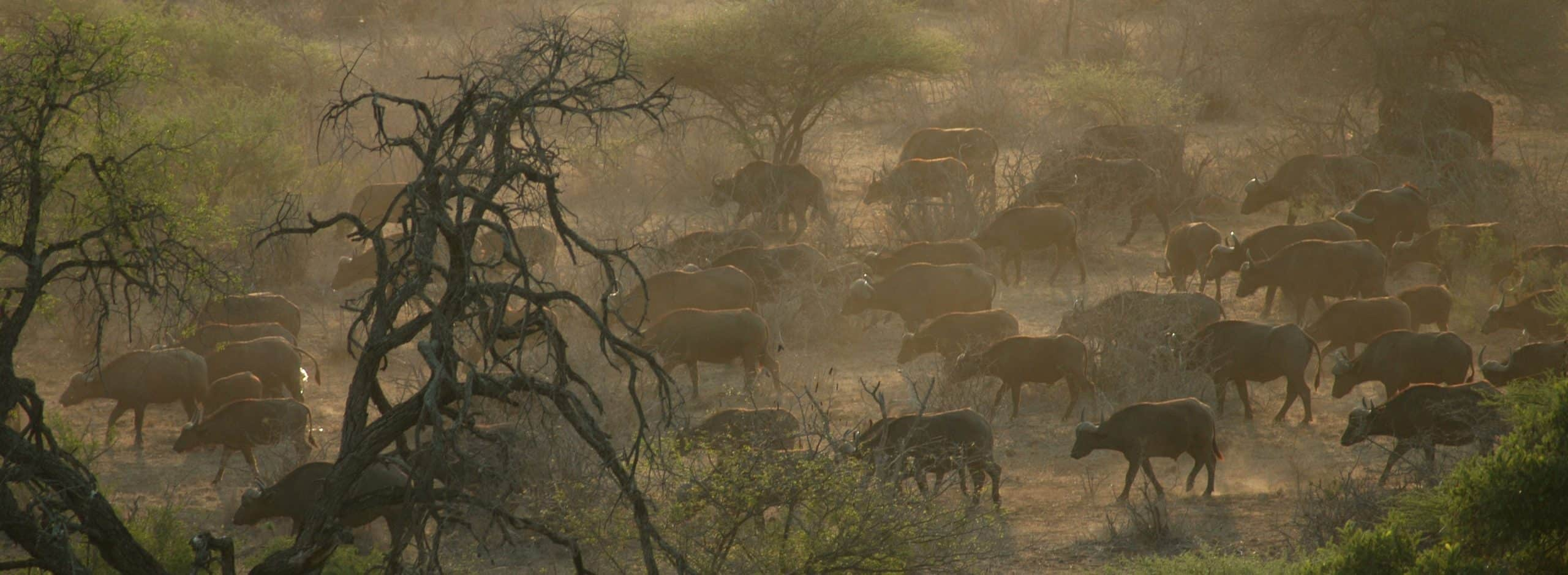 Kruger bufffalos in the mist