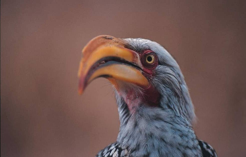 Southern yellow billed hornbill at Singita