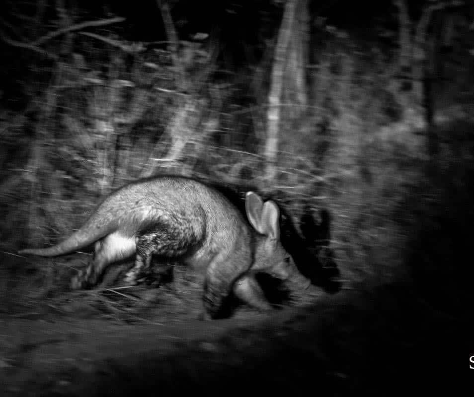 Aardvark at night, Sabi Sabi, Kyle Strautmann