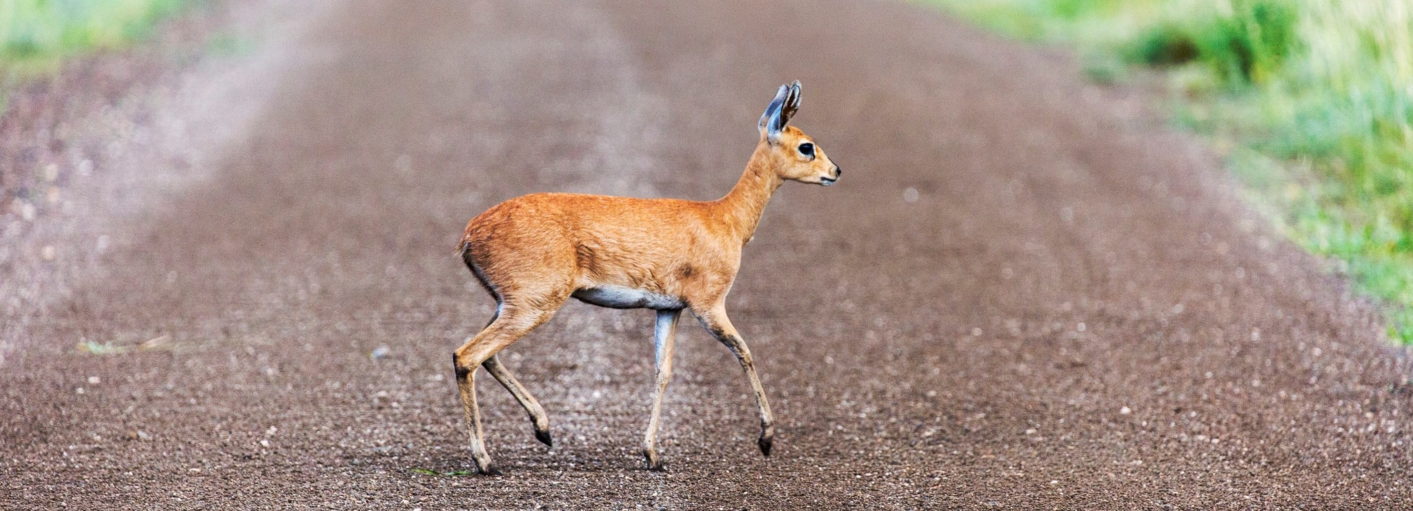 Steenbok crossing, sheldrickfalls