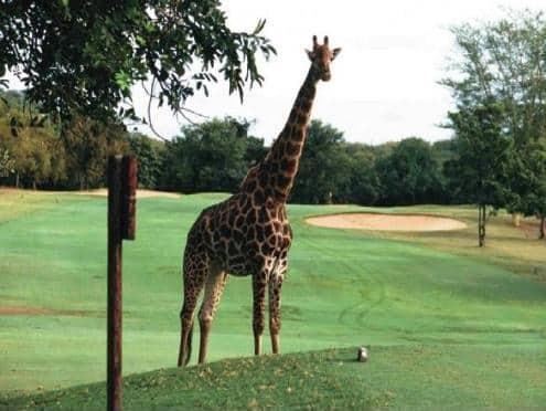 Giraffe at Hans Merensky