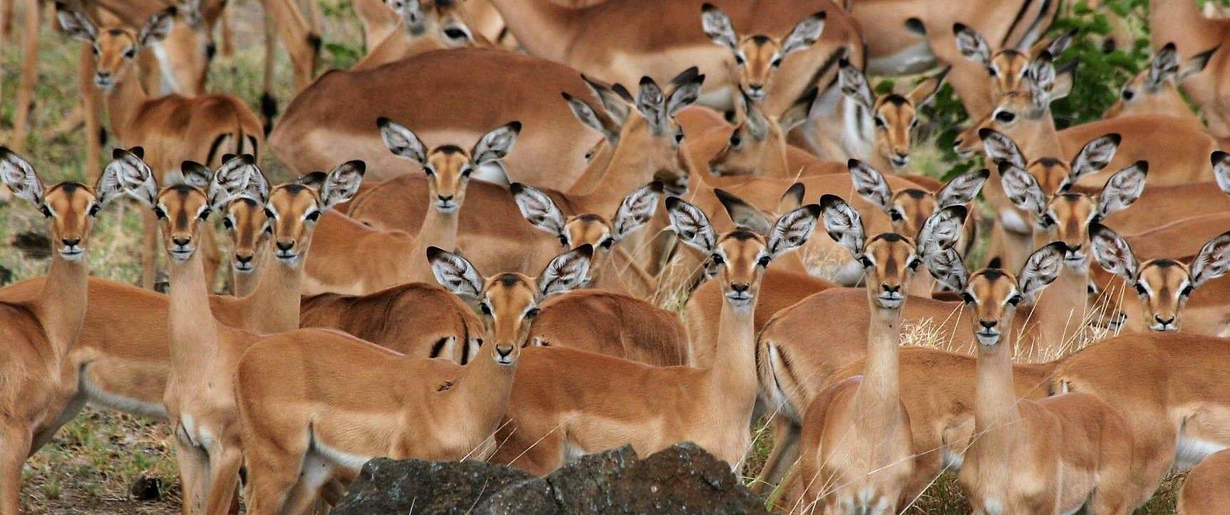 Makuleke impala herd