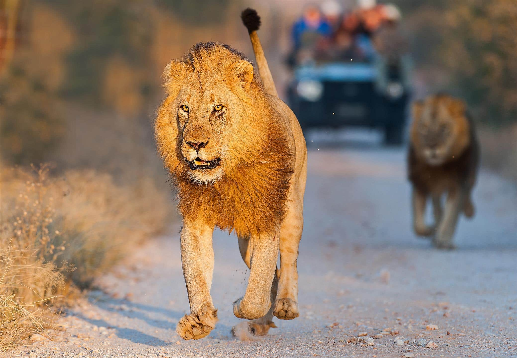 Male lions on drive at Pondoro