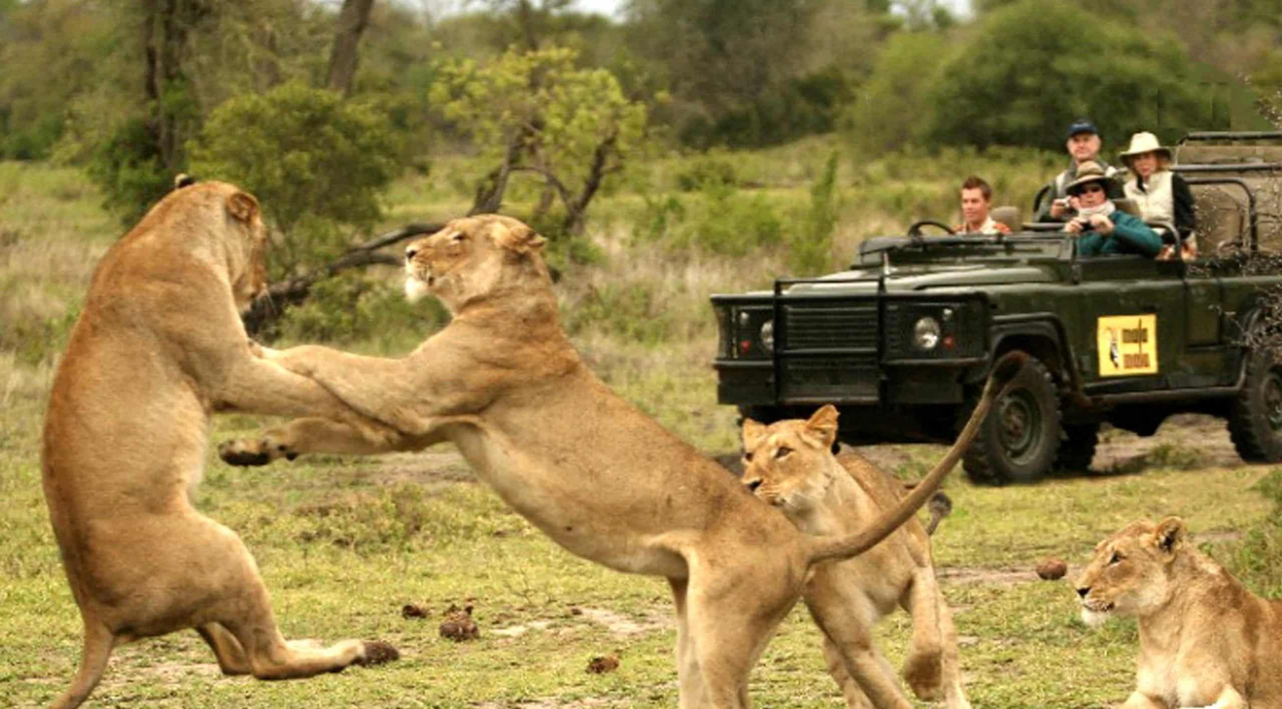Lions sparring on drive at MalaMala