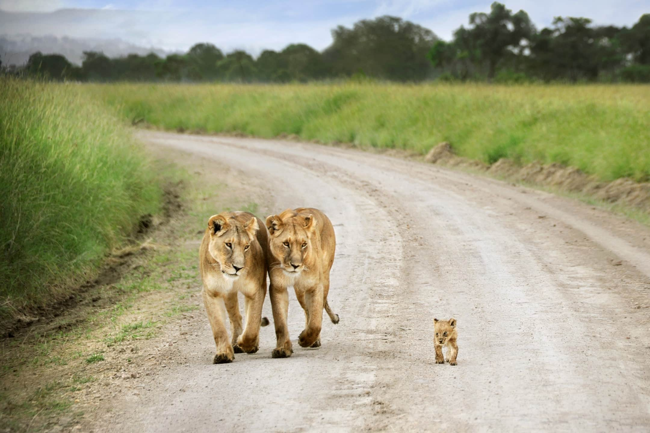 Lions with cub on Kruger road