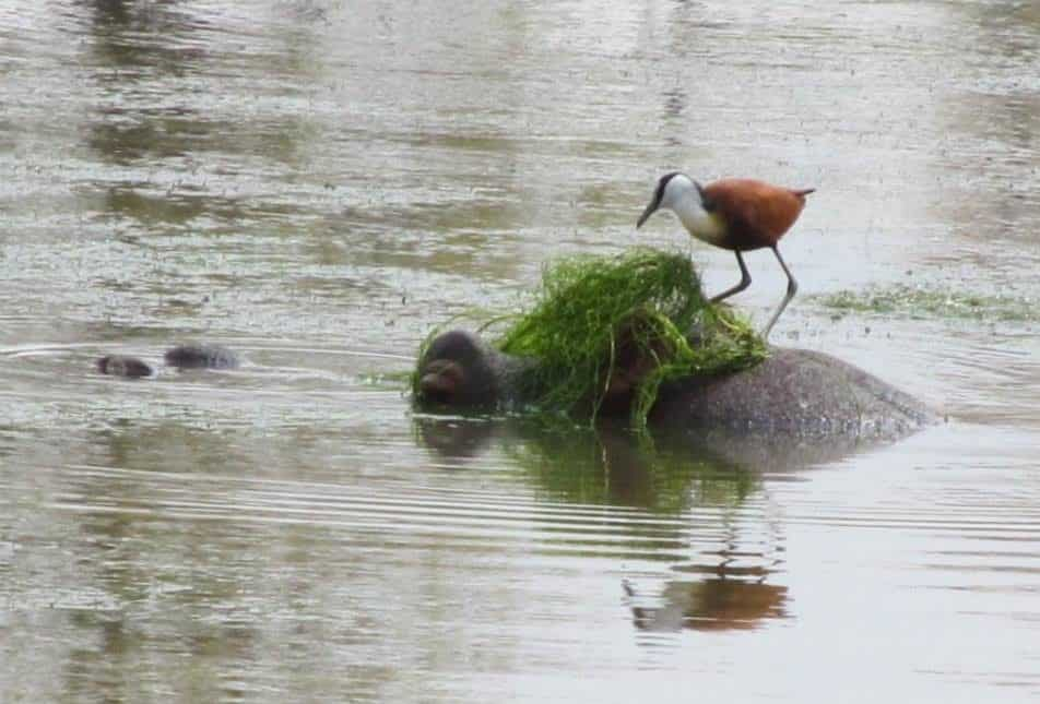 African Jacana riding a hippo at Lissataba