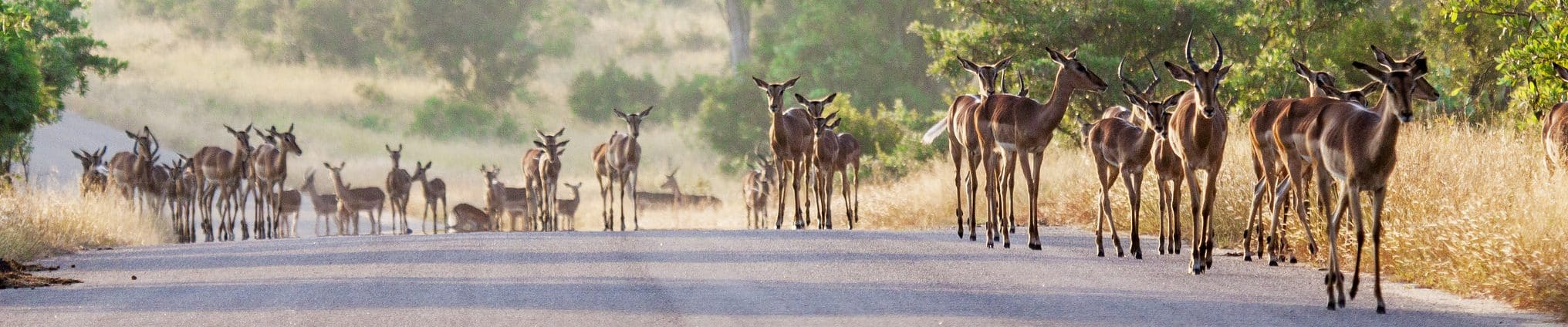 Impala herd on Kruger road, sheldrickfalls