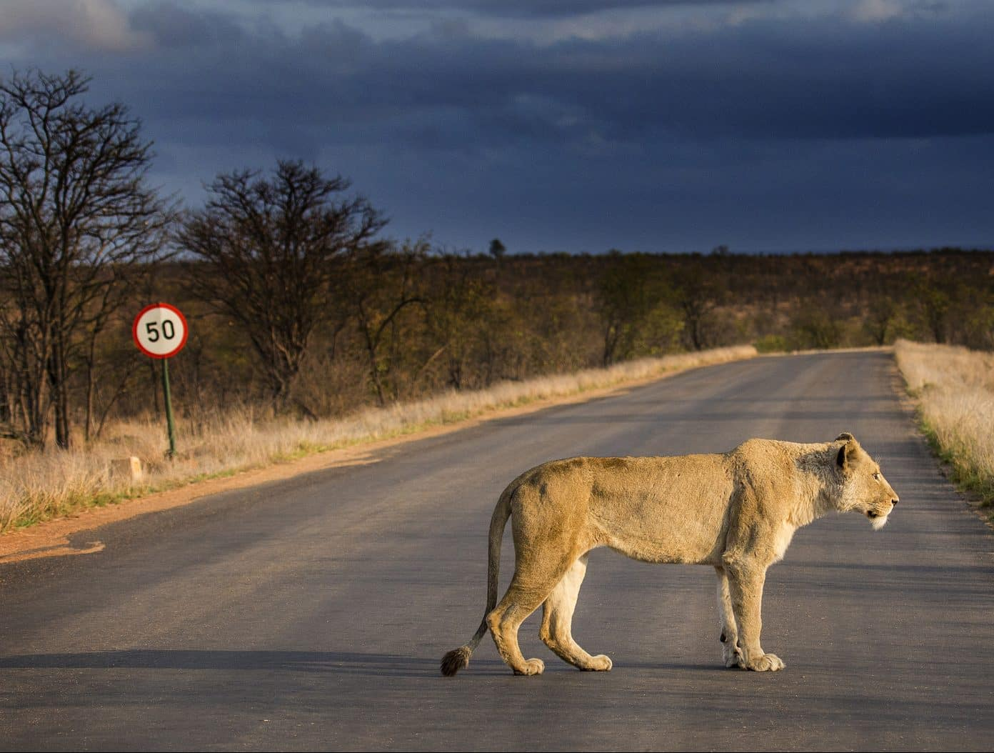 Lion on tar road