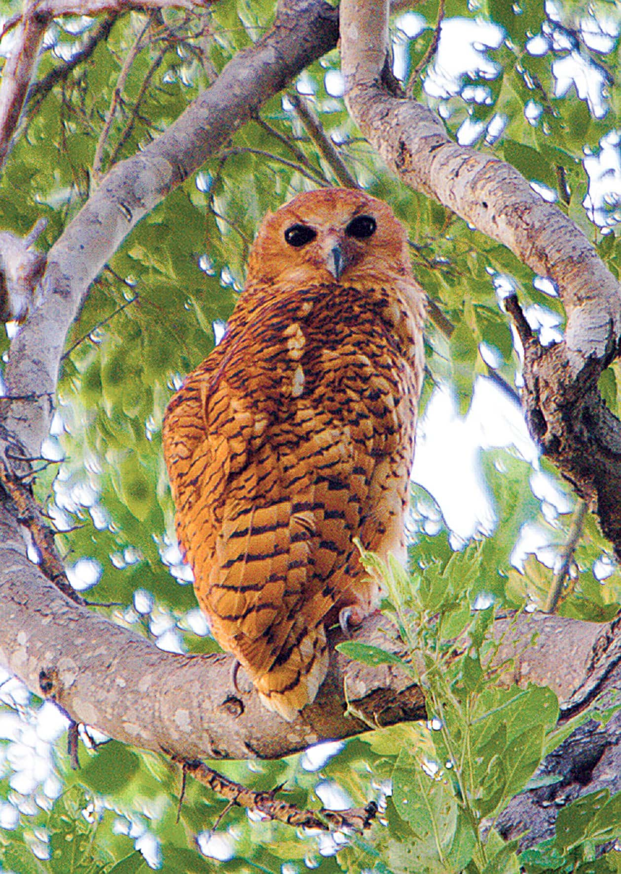 Pels fishing owl in Makuleke, Simon Stobbs